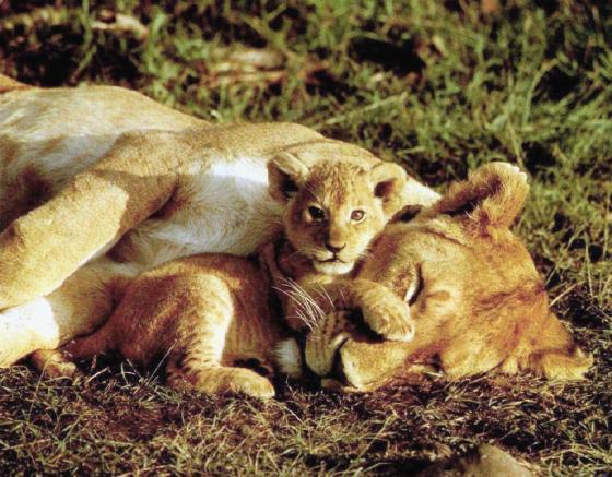 Lions-SleepingMom-Baby-Cub14