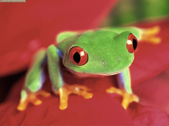 tree_frog_1