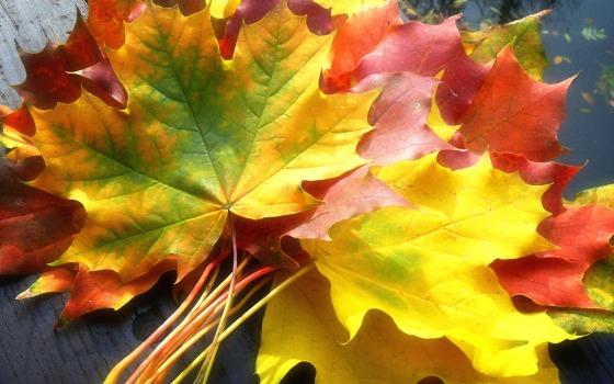 Multicoloured-maple-leaves